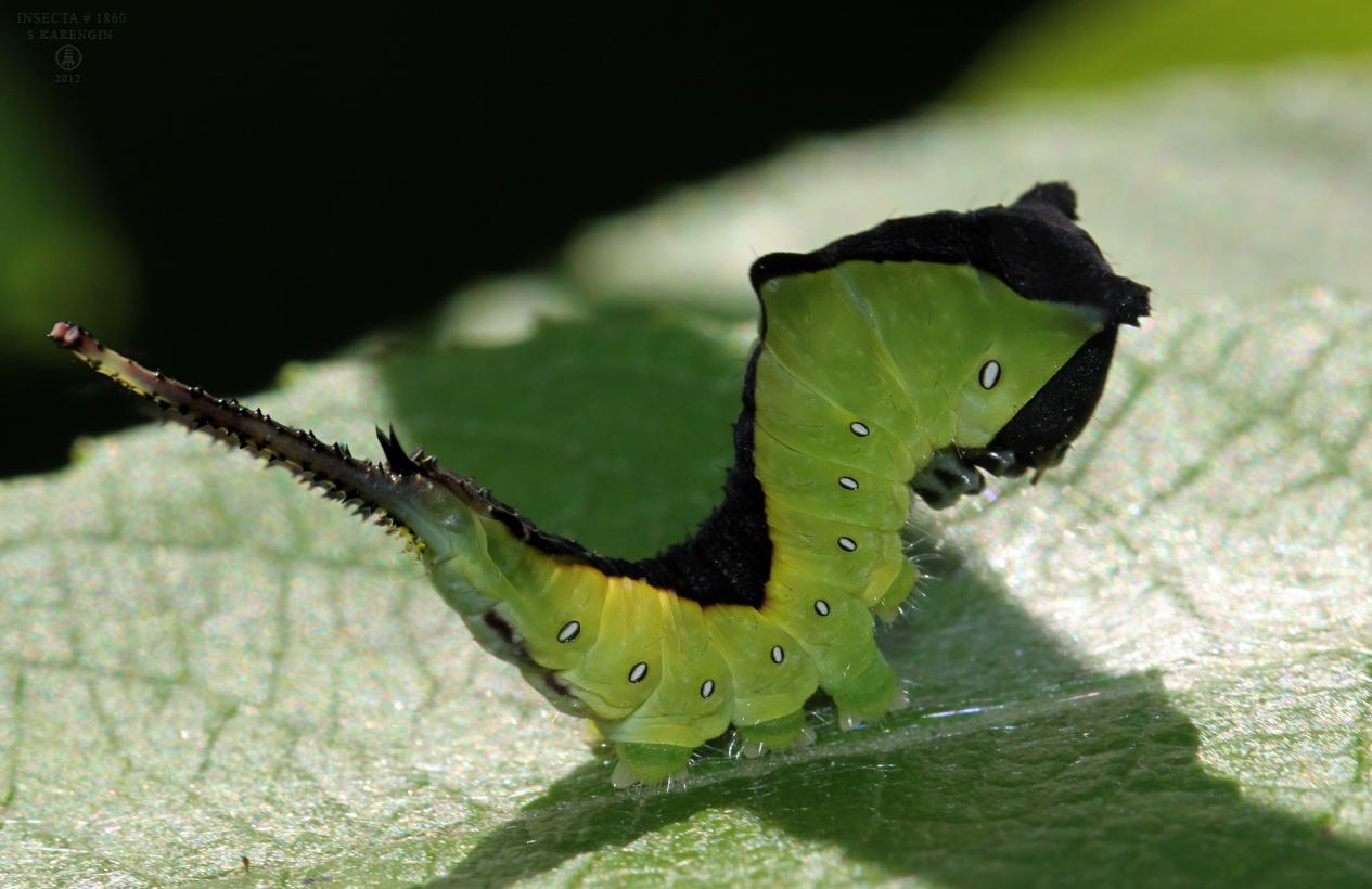 Сaterpillar, Cerura vinula, Dicranura vinula, Гарпия Вилохвост,