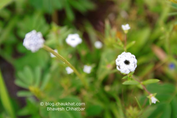 Small white flower at Kas Plateau. It's about 1 cm in diameter.