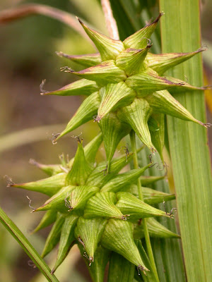 Carex grayi (Detail)
