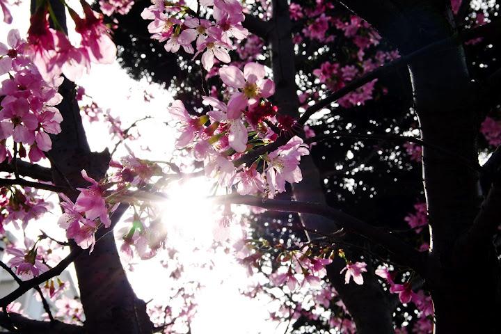 DA18-135的櫻花...