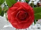 紫がかったローズレッド バラ〜千重咲き 大輪