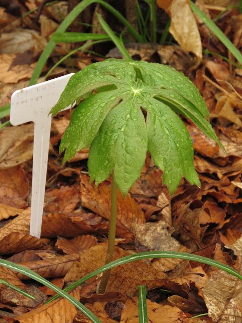 Guide d'identification: jeunes pousses, feuillages et fleurs - Page 7 IMG_5620