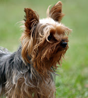 Dolly - Beautiful small Yorkie