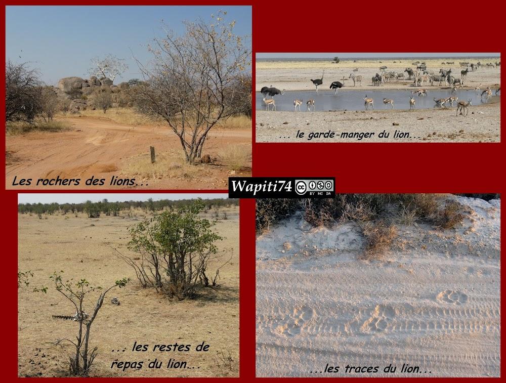 Balade australe... 11 jours en Namibie Lion