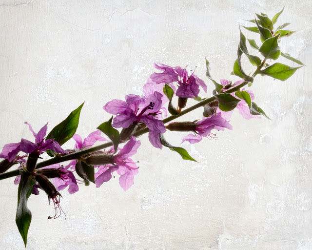 Textured Loosestrife