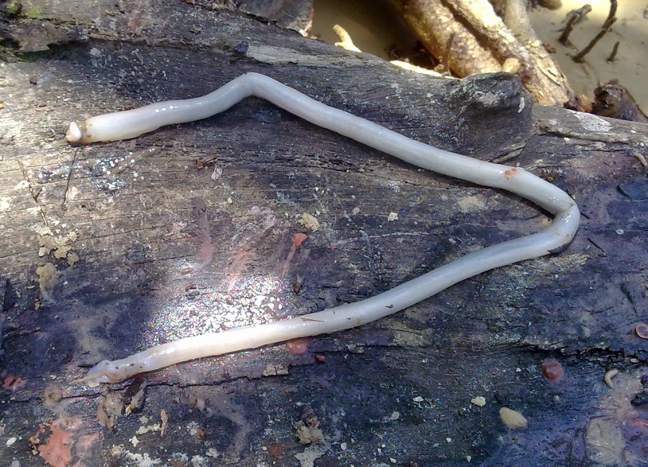 Northern Europe: Shipworms threaten Danish underwater sites
