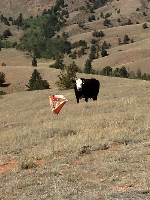 Cow and orienteering
