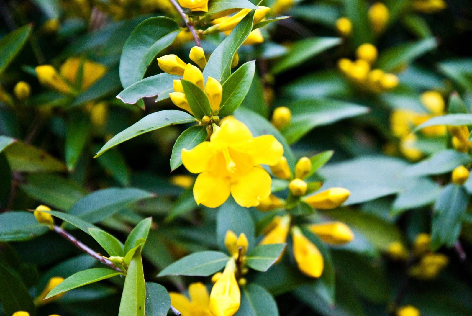 Augusta Georgia Daily Photo Yellow Flowering Bush
