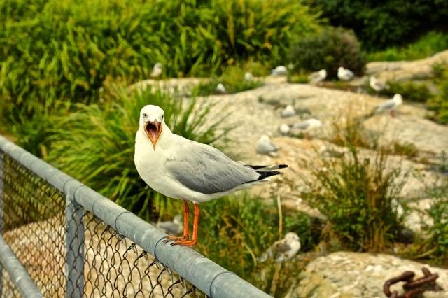Seagull , Cockatoo Island, Sydney Harbour