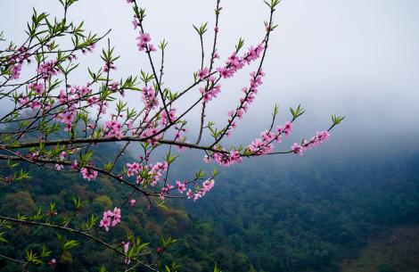 Mùa hoa đào ở cao nguyên Mộc Châu