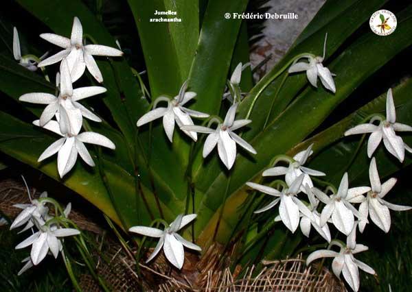 Растения из Тюмени. Краткий обзор - Страница 4 Jumellea%252520arachnantha
