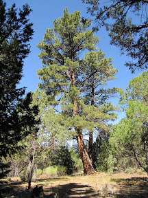 Ponderosa pines on the CCC Trail