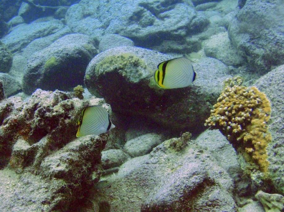 Chaetodon vagabundus (Vagabond Butterflyfish), Naigani Island, Fiji.