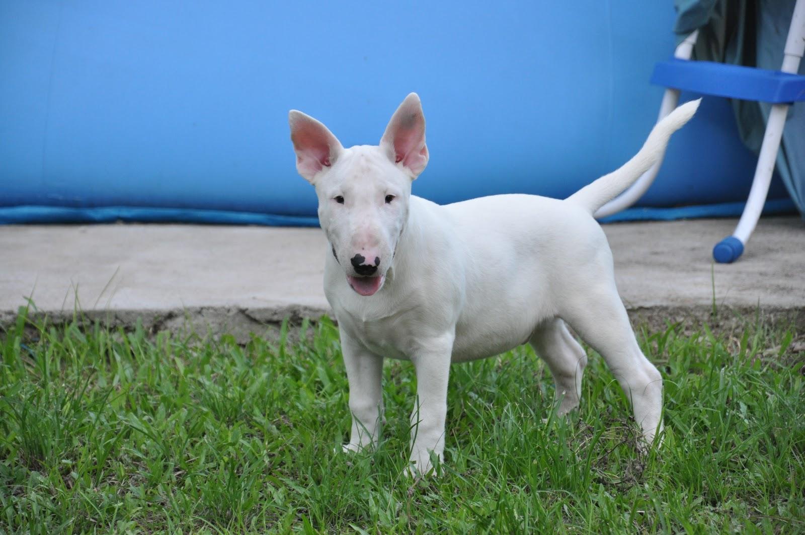 Hoje é Sabado Engraçado: The Bull Terrier: Sábado De Alegria