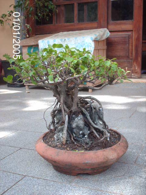 Ficus Microcarpa do Roberto Teixeira... PICT1713