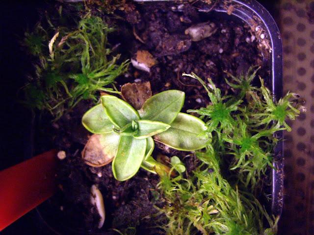 photos de mes orchidées en fleur - Page 2 IMGP4813