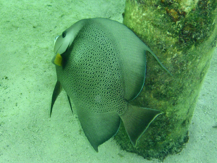 Pomacanthus arcuatus (Gray Angelfish) near the Victoria House, Ambergris Caye, Belize.