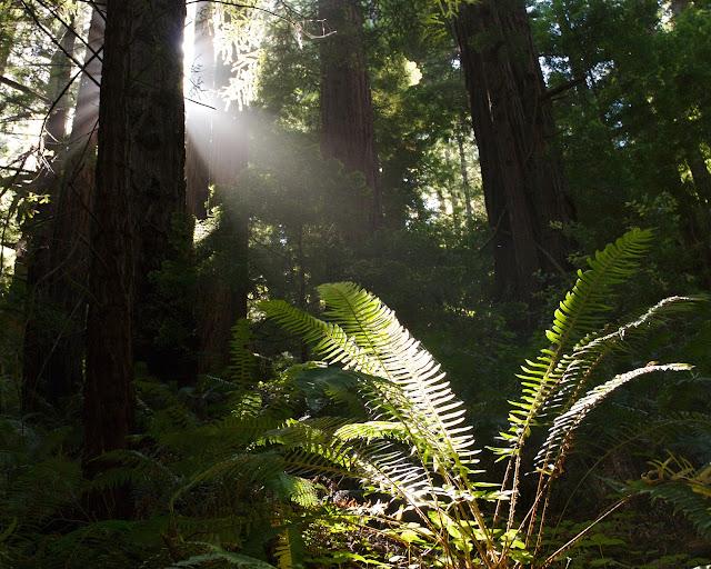 Butano Redwoods