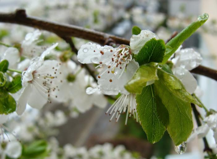 Primăvara bate în fereastră cu degete de flori de prun (4)