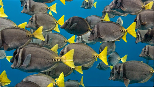 School of Yellow-Tailed Surgeonfish, Galapagos Islands, Ecuador.jpg