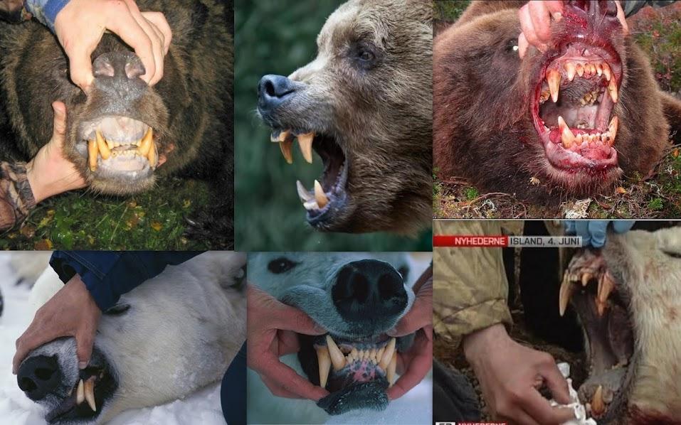 Urso pardo vs Urso polar Denti%C3%A7%C3%A3o+de+pardos+e+polares
