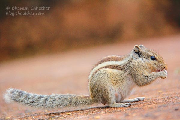 Five-striped palm squirrel / Northern palm squirrel / Funambulus pennantii
