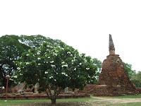 崩れかかかった仏塔に脇には見事に咲き誇るプルメリアが馥郁たる香りを漂わせていました。