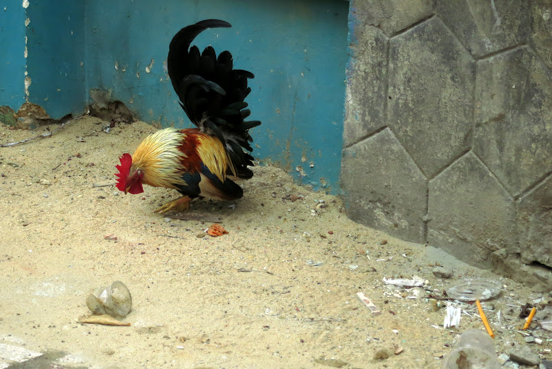 Bantam on a sidewalk