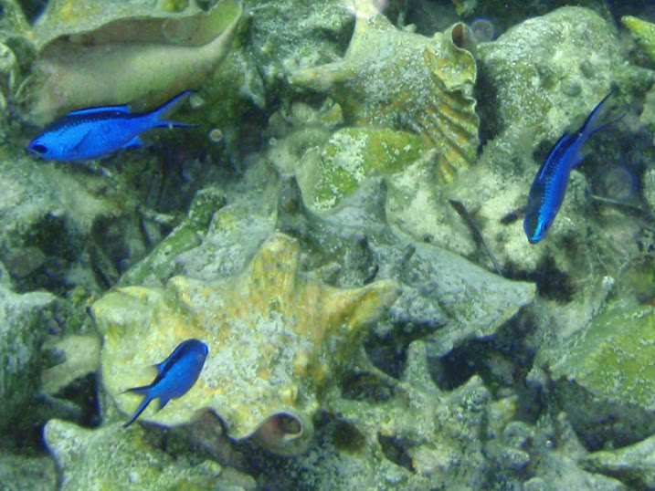 Chromis cyanea (Blue Chromis Damselfish) off Ambergris Caye, Belize.