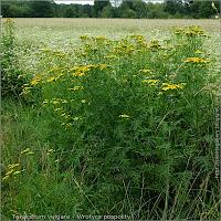 Tanacetum vulgare - Wrotycz pospolity przykładowe środowisko występowania