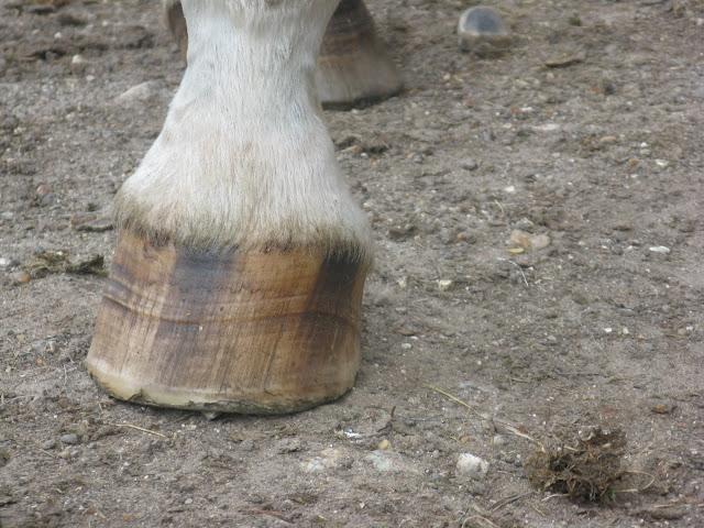 Besoin d'avis et conseils sur les pieds de mon cheval IMG_2118
