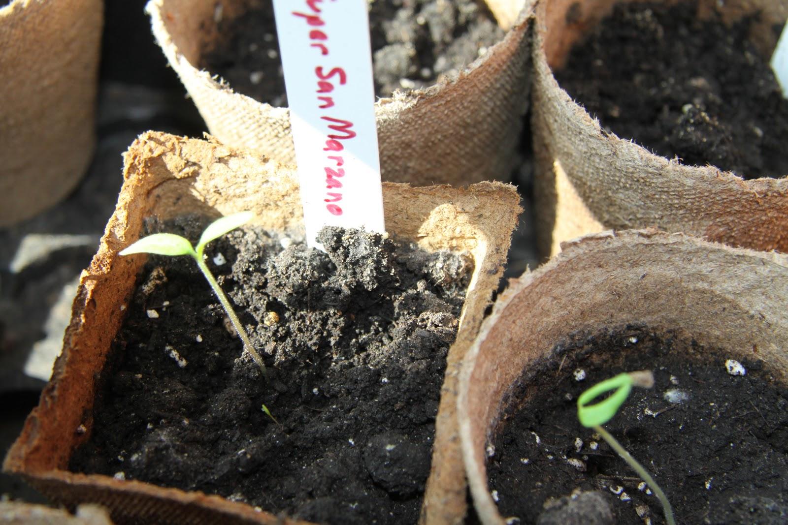Soaking pepper seeds before planting in a sponge: the secret of strong pepper seedlings 75