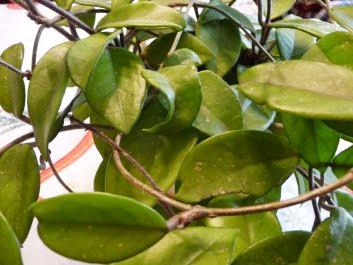 Hoja różowa, Woskownica Hoya carnosa, bez kwiatów