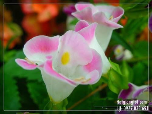 Hạt hoa tô liên đẹp