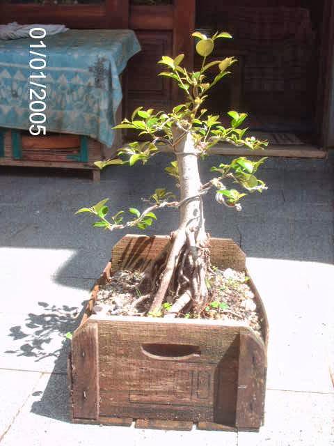 Ficus Microcarpa var. Indica... PICT2538