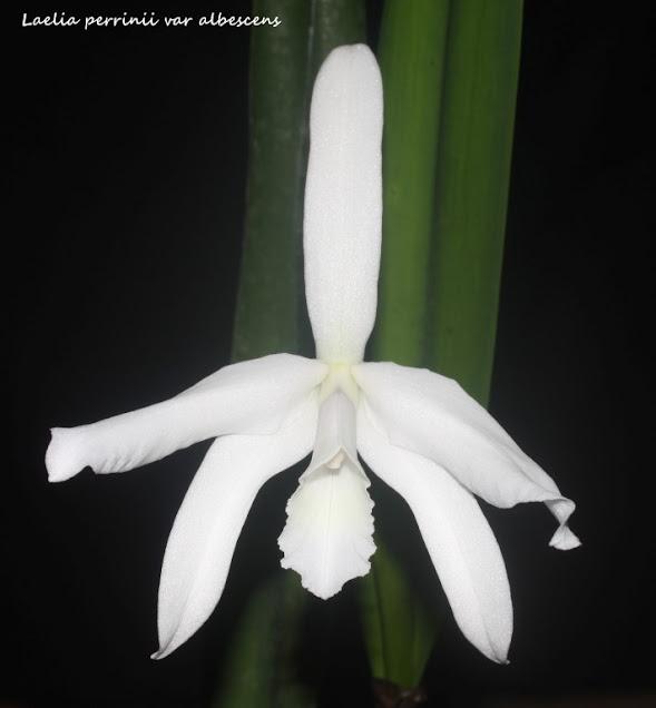 Laelia perrinii var albescens IMG_0004b+%2528Medium%2529