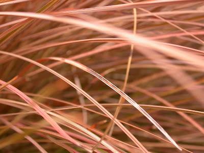 Carex tenuiculmis (Detail)