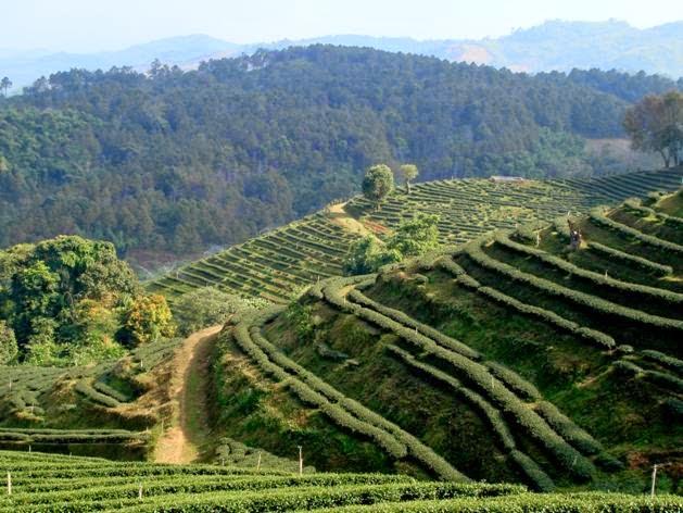 Чайный плантации в Мае Салонге