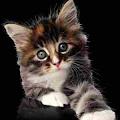 Kucing garong