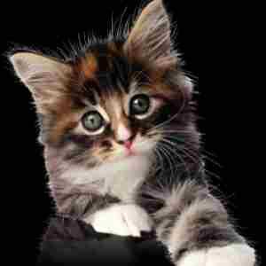 kucing hitam - belajar kode css
