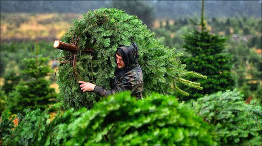 Real Christmas tree delivery
