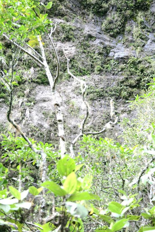 Orchidées in situ, sur l'ile de la Réunion IMG_2162