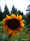 Sonnenblume im Regen