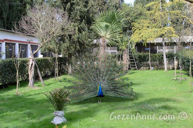 Uluabat Kuş Cenneti'ndeki tavus kuşları