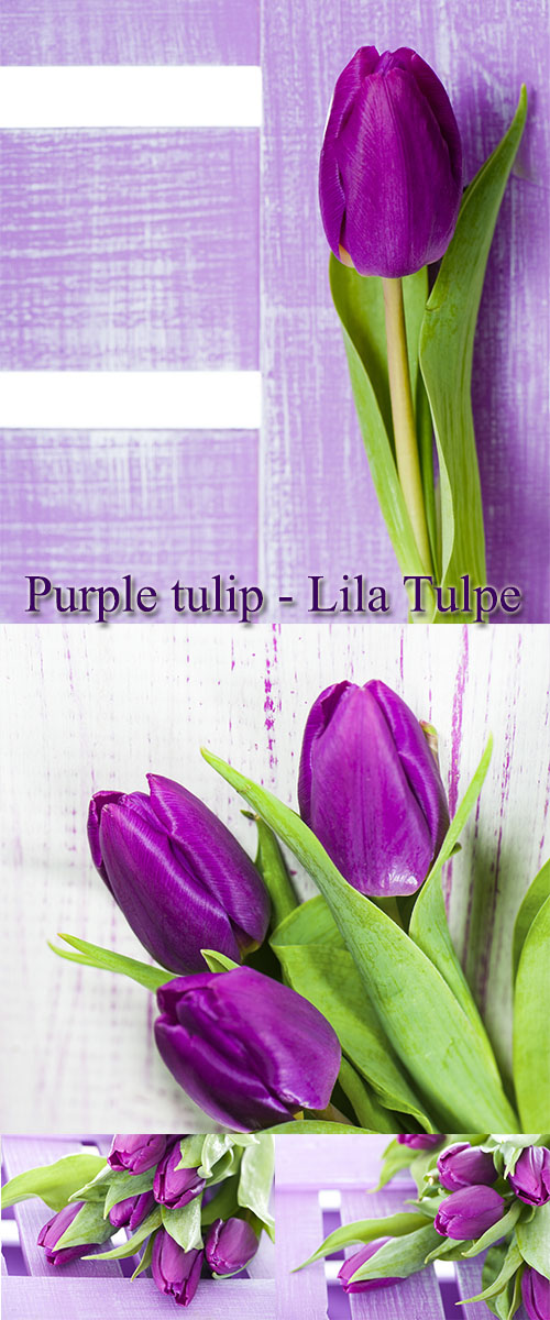 Stock Photo:  Purple tulip - Lila Tulpe