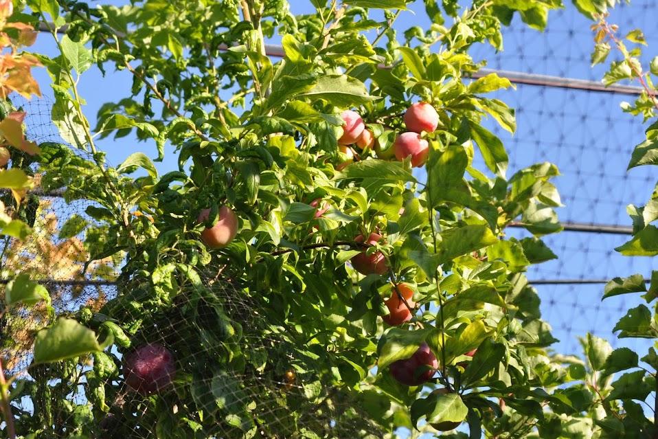 Fruit Cocktail Tree 76