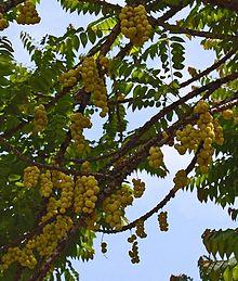 buah ceremai pada pohonnya
