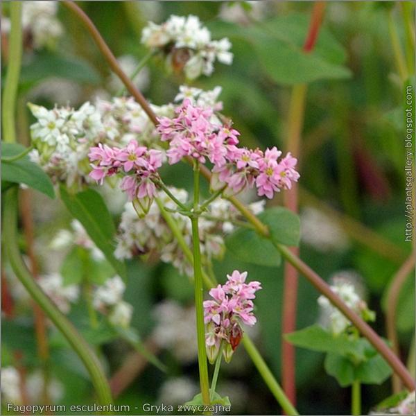 Fagopyrum esculentum flower - Gryka zwyczajna kwiaty forma różowa