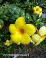 Allamanda oenotherifolia