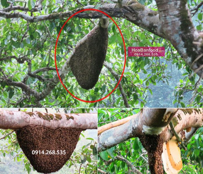 Khai thác Mật Ong Rừng ở Lai Châu - 15